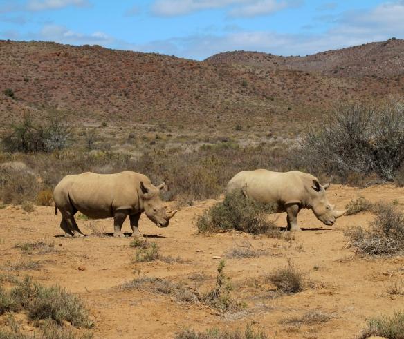 RhinosRoaming